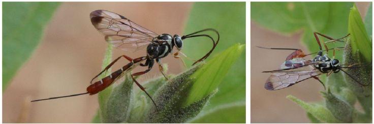 Tan hymenoptera