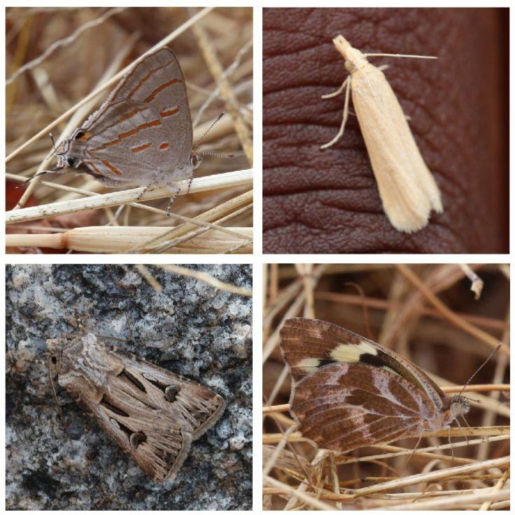 Tan lepidoptera